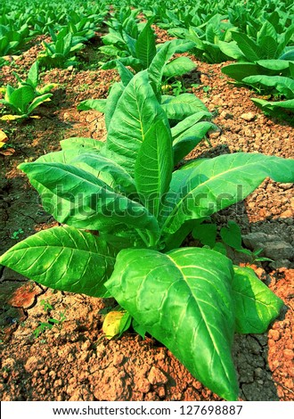 Young Tobacco plant in field
