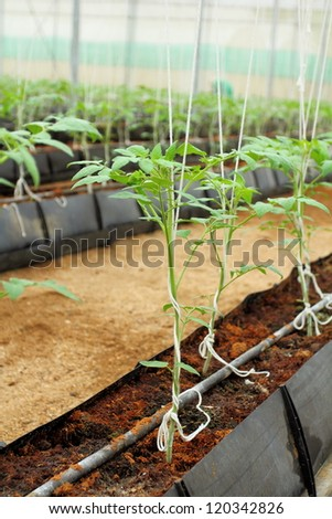 Young tomato plant in glass house.