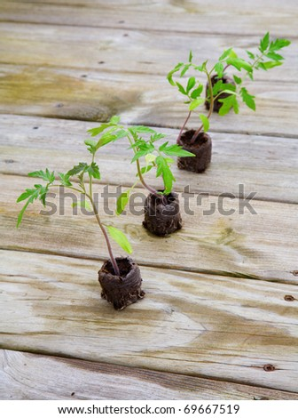 Young tomato plants growing from peat pods