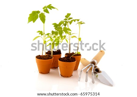 Young tomato plants in flower pots isolated over white