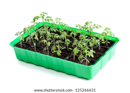 Young tomato plants in germination tray ready to be planted outside - isolated