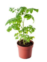 young tomato seedling in pot isolated on white background
