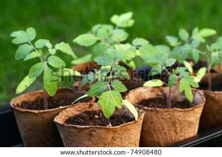 Young tomato seedlings - stock photo