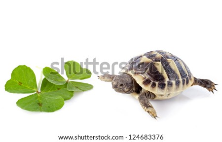 young tortoise and trefoil isolated on a white isolated