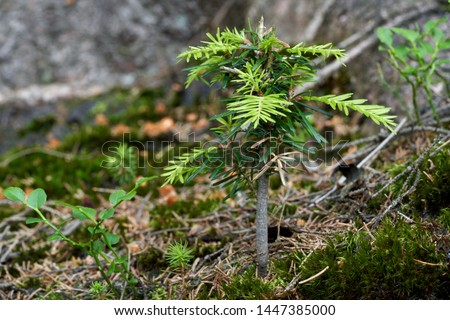 Young tree Abies alba growing in the conifer forest. Also known as European silver fir or silver fir. Natural environment. #1447385000