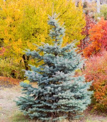 Young tree of blue spruce against the trees and shrubs with varicolored autumn foliage