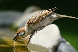 Young tree sparrow drinks water from a bird's waterhole. Czechia. Europe.