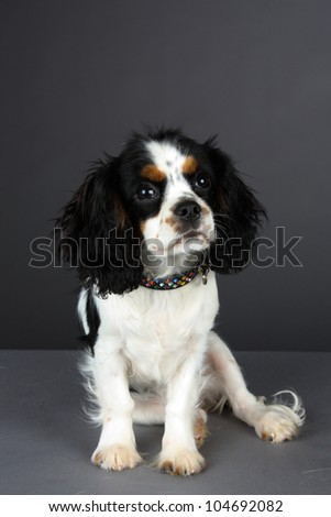 Young Tri colored Cavalier King Charles Spaniel with Jewelled collar, sits facing towards the camera in studio portrait with a gray background
