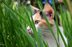 young tricolor cat licks her pink tongue sitting in green tall grass