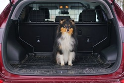Young tricolor Sheltie dog sitting outdoors in a car trunk in winter