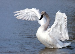 Young trumpeter swan (cygnet) stretching wings