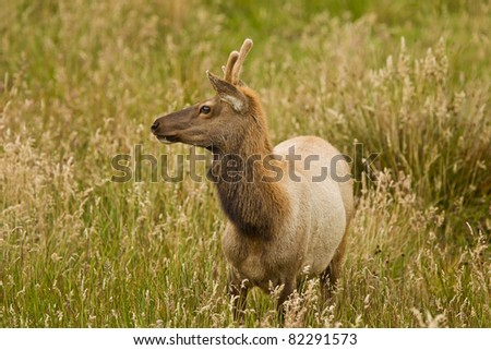 Young Tule Elk (Cervus canadensis) in a wilderness at Point Reyes National Seashore, California.