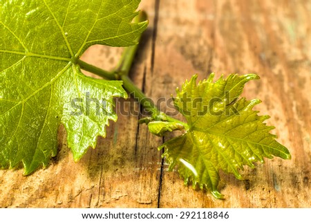 Young twig of vine with wet from rain leaves on wood background, macro nature wallpaper.