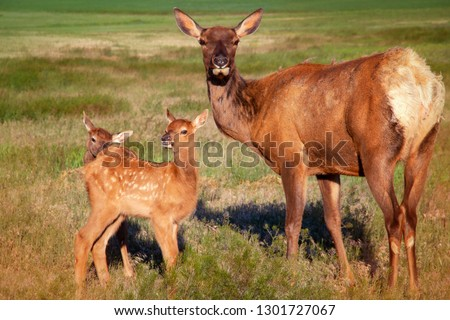 Young twin elk calves sticking really close to their mother in the grassy meadow.