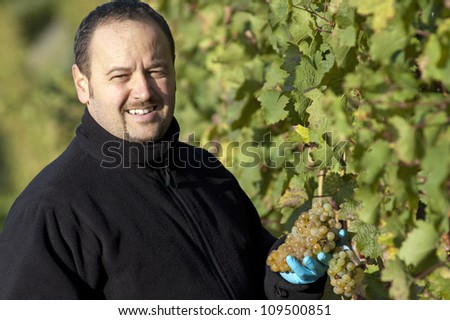 Young vintner is harvesting white grape in the wineyard by sunny wheather