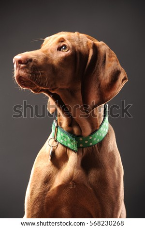 Young vizsla pointer dog portrait on black background