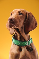 Young vizsla pointer dog portrait on colored background