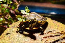 Young water turtle being curious
