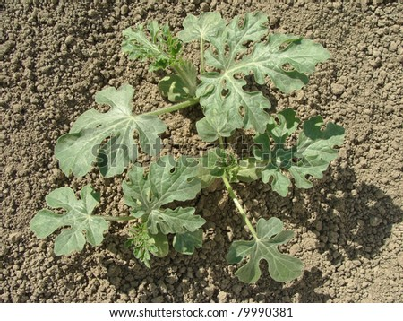 young watermelon plants growing on the vegetable bed - stock photo