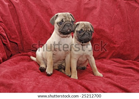 Young 10 weeks old pugs. Foto stock ©