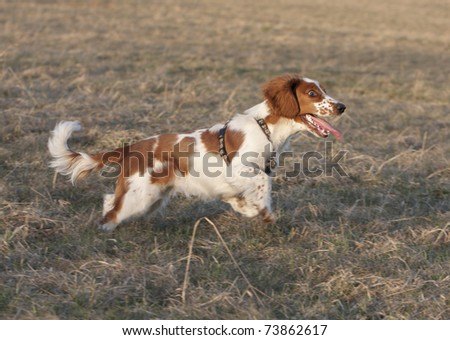 Young welsh springer spaniel