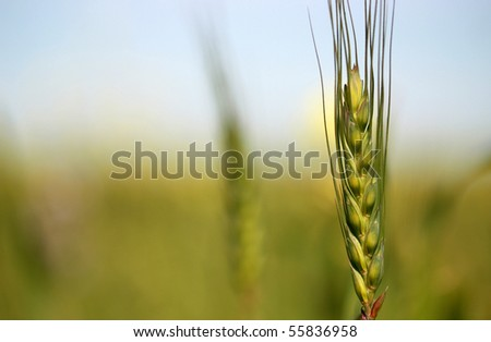 Young Wheat