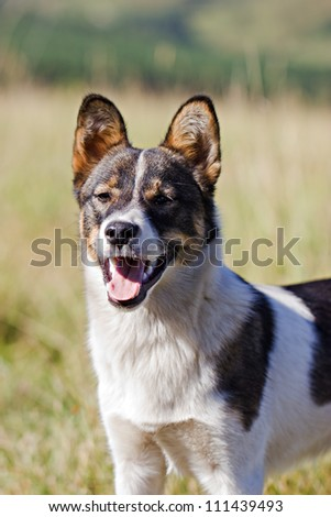 Young white and black dog breathes with open mouth in the field