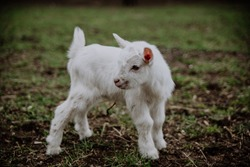 Young white Baby Goat  a white little baby goat on a green meadow