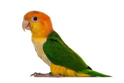 Young White bellied caique bird, standingon flat surface side ways. Isolated on white background.