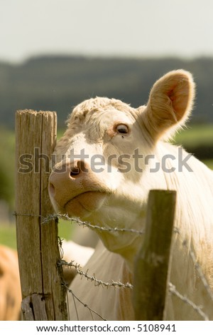 Young white bullock scratching his head on a fence post whilst appearing to look at a fly on his face.  Focus is on his muzzle area