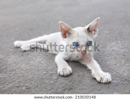 Stock Photo Young white cat with blue eyes on the street.