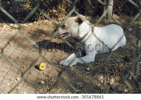 Young white dog with open mouth and pink tongue sad behind the fence lying on the ground near green apple. Daylight.