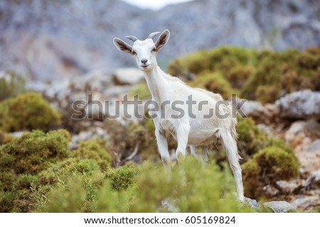 Young white goat in mountains on coast
