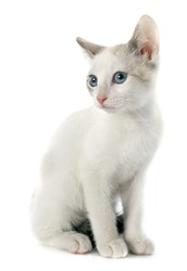 young white kitten in front of white background