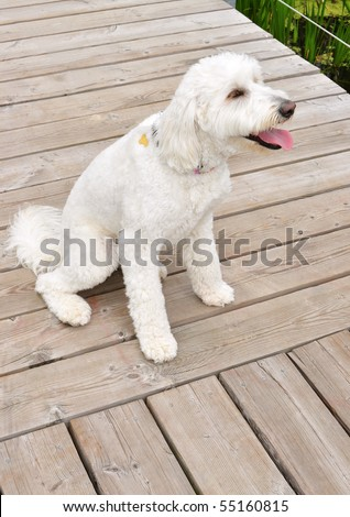 Young white Labradoodle - mix of labrador and poodle