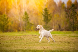 Young white purebred Labrador Retriever dog in the fall between leaves
