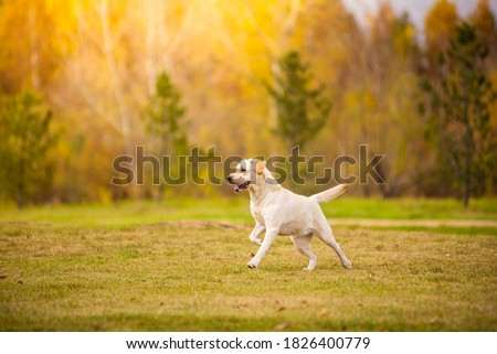 Young white purebred Labrador Retriever dog in the fall between leaves Zdjęcia stock ©