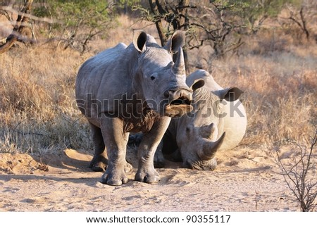 Young White Rhino in the early morning caught midway through a yawn. Taken in South Africa.
