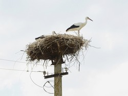 Young white storks having a rest in the nest before next flight. Now parents leave them alone for a longer period of time