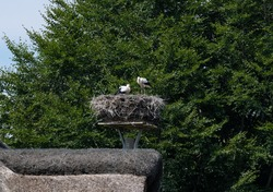 Young white storks sit in their nest