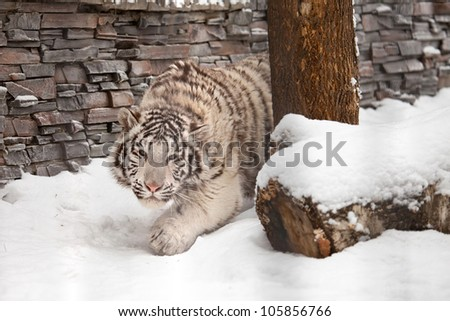 young white tiger hunting on snow