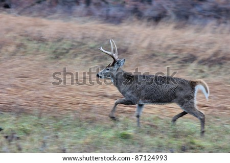 Young Whitetail Deer Buck on the move during rutting season.