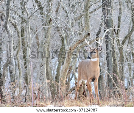 Young Whitetail Deer Buck standing at the edge of the woods.