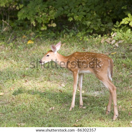 Young whitetail deer still in spots out near a forest