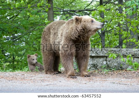 Young wild bear in the forest near Sinaia, Romania. Here bears got used to be fed by tourists and this became a problem both for humans and bears.