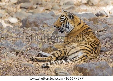 Young wild Bengal tiger relaxing in the shade of Ranthambore national Park