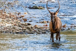 Young Wild Bull Elke crossing a shallow river facing the camera, he just crossed a rocky outcrop, it is summertime in the Great smoky mountains National Park Cherokee NC. south end Blueridge parkway