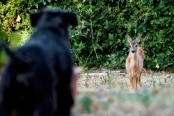 Young, Wild European Roe Deer Looking at Home-Raised, Pure-Bred Miniature Black Schnauzer Dog Standing in Blurred Foreground. Beautiful Encounter of Wild and Domesticated Animals. Tuscany, Italy 2020