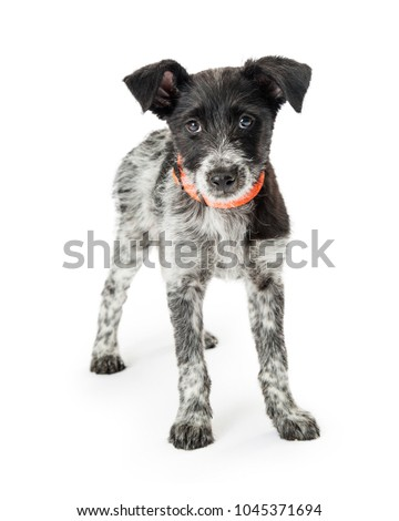 Small Black Wiry Terrier Dog Free Images And Photos Avopixcom