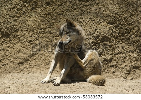 Young wolf  scratching himself